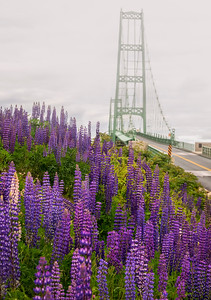 Deer Isle Bridge with Lupines in Fog