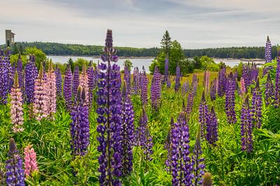 Mariner's Park Lupine field, Deer Isle, Maine