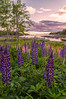 Burnt Cove Lupines near sunset, Deer Isle, ME
