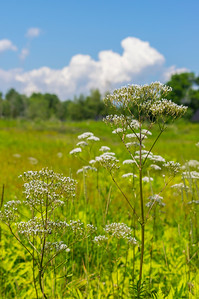 Valerian Summer Meadow, Gilsland Farm Audubon, Falmouth, Maine