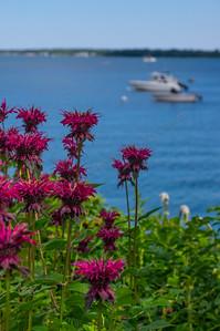 Bee Balm on Falmouth Harbor, Falmouth, Maine