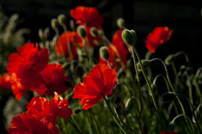 This luscious patch of Oriental Poppies was nodding in an early evening breeze, backlit by warm spring sun, just waiting for a camera to come along and snap them up.