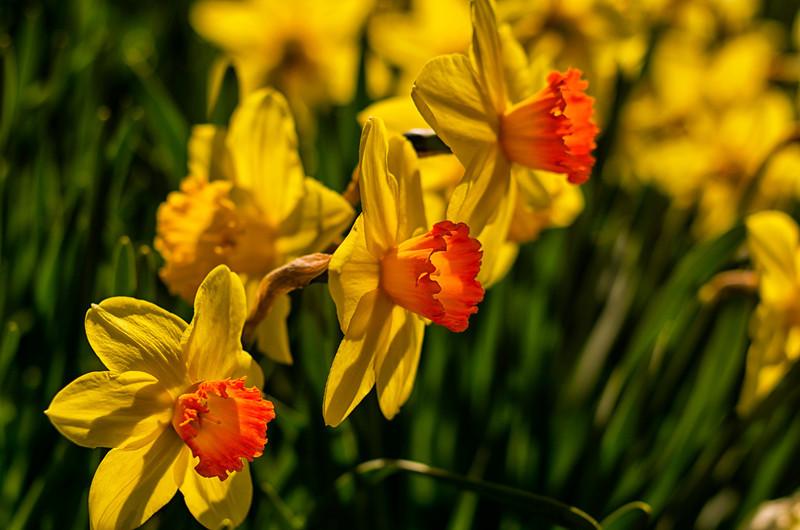 Laurel Hill Daffodils 2, Saco, Maine