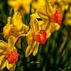 Laurel Hill Daffodils 2, Saco, Maine