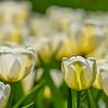 White Tulips, Nikon d750