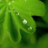 Alchemilla (Lady's Mantle) leaf with raindrops in the shade garden<br /> May 2009