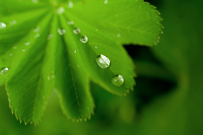 Alchemilla (Lady's Mantle) leaf with raindrops in the shade garden May 2009