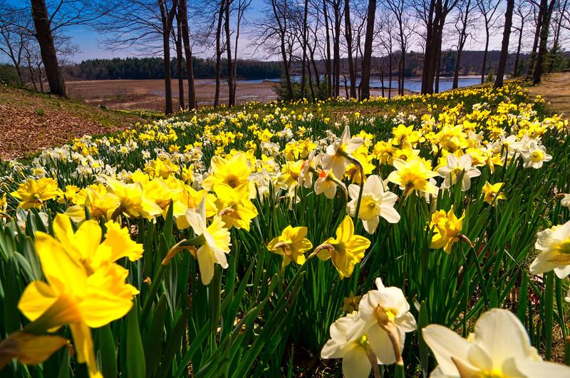 Laurel Hill daffodils 5, Saco, Maine