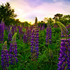 Capisic Pond Lupine Patch, Portland, Maine.