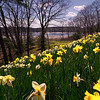 Laurel Hill daffodils4, Saco, Maine