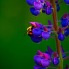 Lupine with Bee