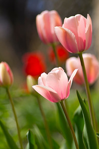 Pink tulips on a sunny spring morning.