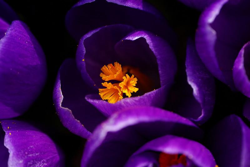 Purple Velvet Crocii<br /> Taken with a Raynox 250 Macro attachment