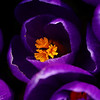 Purple Velvet Crocii<br /> Taken with a Raynox 250 Macro attachment