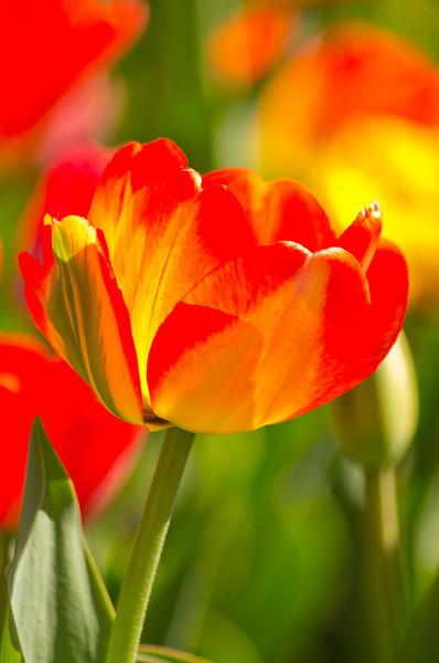 Triangle Park Tulip Vertical