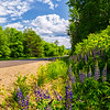 Norway, Maine Roadside Lupines