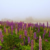 Manset, Maine Lupines--Manset, Maine, Acadia National Park, taken in June 2008 during a week of intense fog.