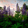 Dawn in the Lupine Patch, Mussel Bay, Falmouth, Maine