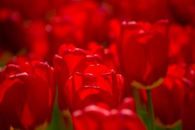Red Tulip Field, Portland, Maine