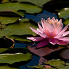 Pink Water Lily, Mill Creek Park, South Portland, Maine.
