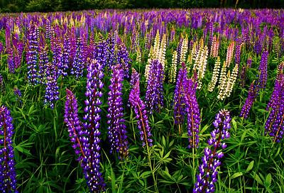 Rangely, Maine Lupine field.