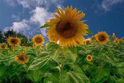Sunflower Field, Albion, Maine