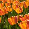 Orange Tulips, Nikon d750