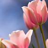 Tulips against a blue sky background.