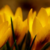 Yellow Crocii