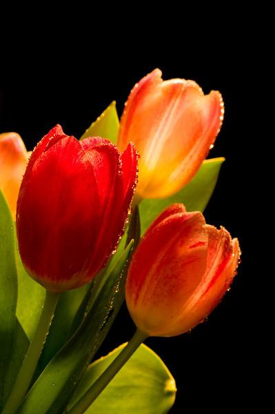 Basking Tulips