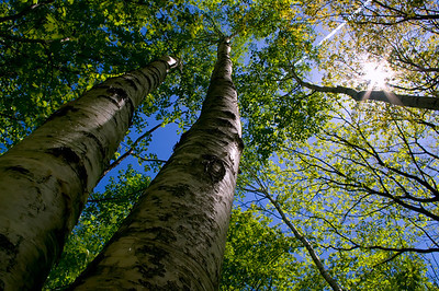 Birch Giants, Falmouth, Maine