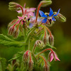 Borage Flowers in a Maine Garden