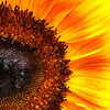 Half Sunflower<br /> All photographs are printed on high quality, professional Kodak metallic paper, unmatted, and shipped to you unframed so that you may choose your own matting and framing materials. <br /> The following sizes are available unmatted:<br /> Unmatted prices:<br /> 8 x 10  $35<br /> 11 x 14  $50<br /> 16 x 20  $75<br /> 20 x 24  $100