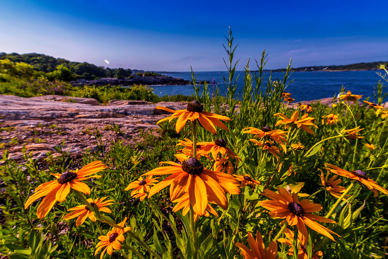 Fort Williams Rudbeckia, Cape Elizabeth, Maine