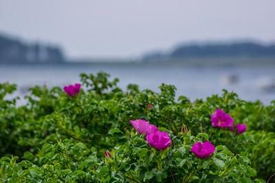 Kettle Cove Rosa Rugosa, Cape Elizabeth, Maine