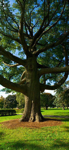 Ancient Oak, Deering Oaks Park, Portland, ME<br /> Hover cursor over photo to be offered the menu to enlarge and see it in its fuller size. All panoramas are $100.00, unmatted. Matted option not available.