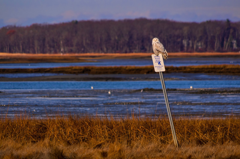 Snowy Owl on a Wildlife Preserve sign in Biddeford Pool, Maine in early December.