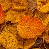 Aspen Leaves in Autumn, Moosehead Lake, Maine