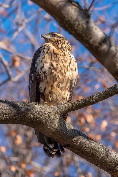 Black Hawk, Deering Oaks, Portland, Maine