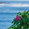 Rosa Rugosa, Perkins Cove, Ogunquit, Maine