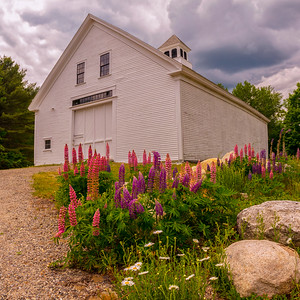 White Barn and Lupines Panorama