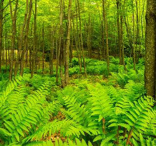 Fern Forest in Bridgton, Maine