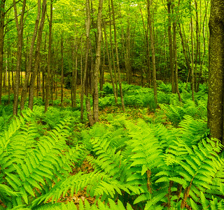 Fern Forest in Bridgton, Maine