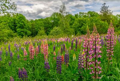 Oxford, Maine Lupine Field
