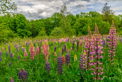 Oxford, Maine Lupine Field
