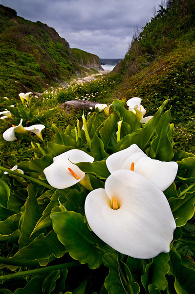 Garrapata State Park Calla Lilies. We set out to find this hidden spot along the coast North of Big Sur in Garrapata State Park. (Photographers and nature lovers don't share details very often to find this little spot!) We found this little cluster of three perfect Calla Lilies just sitting there. I used my 10-20mm lens to distort and enhance the foreground. This image looks fantastic printed at least 20x30 as a Museum Quality Gallery Wrap. My wife has this in our dining room and admires it everyday. Ahhh.... to be in Big Sur right now. This is one of those places I want to be on a Friday afternoon. Keep Shooting!