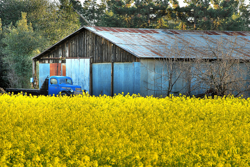 """Last Images of the Grant Road Farm, Mountain View, California""   This is one of the last farms in Silicon Valley.  Generations of families have taken their kids to the pumpkin patch,bought Christmas trees, or huge sunflowers at the farm. The mustard had been cut down and truck was gone when I went back the next week. Grant Road farm is located near El Camino Hospital in Mountain View and has been slated to be torn down become houses."