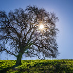 """Starburst Oak and Blue Skies in California"".  Out for a hike in Rancho San Antonio in the Cupertino Los Altos Foothills enjoying a break from all the rain. The lush green grass and blue sky created a nice contrast with the outline of the Oak Tree and starburst from the sun. I can't wait until later in Spring when the tree starts to have leaves on it! #oaktree #starburst"
