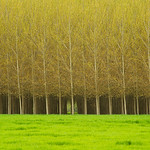 """""""Rows of Trees""""  These rows of trees at a tree farm in Oregon really captured me.  The uniform lines and patterns in the trunks together with that little peak through to the back.  Makes you want to wander into the forest."""