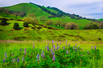 """Lupines and Oaks Along Pacheco Pass"""